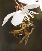 Biene im Glück