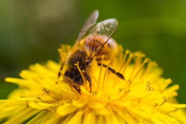 Biene im goldgelben Bad