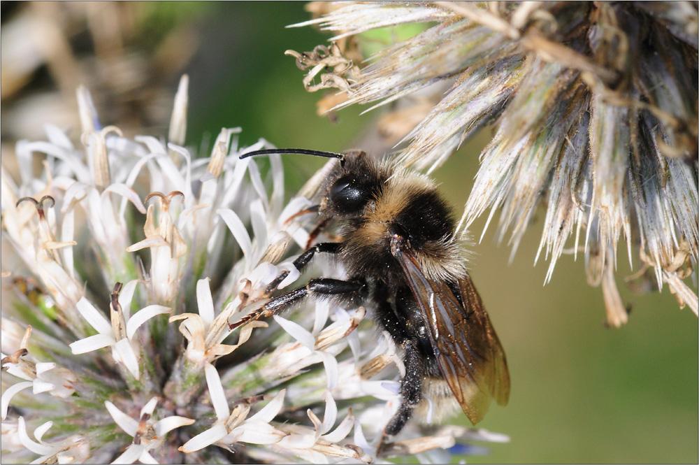 Biene im Herbst 1