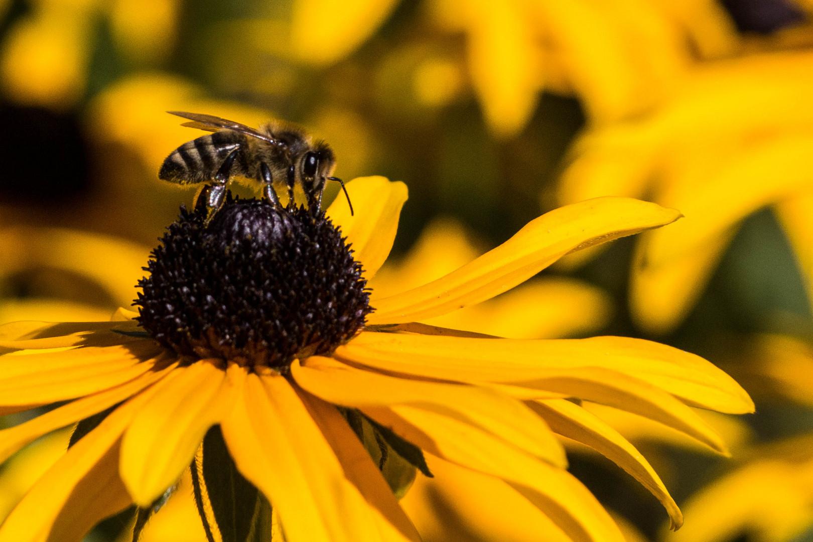 Biene im Kontrast