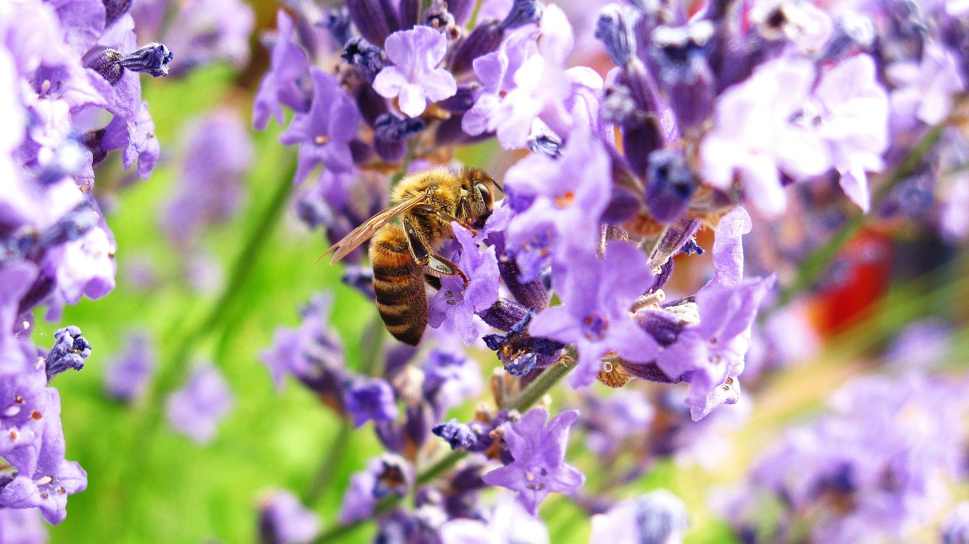 Biene im Lavendel 2