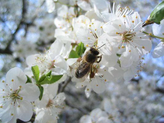Biene im Pflaumenbaum