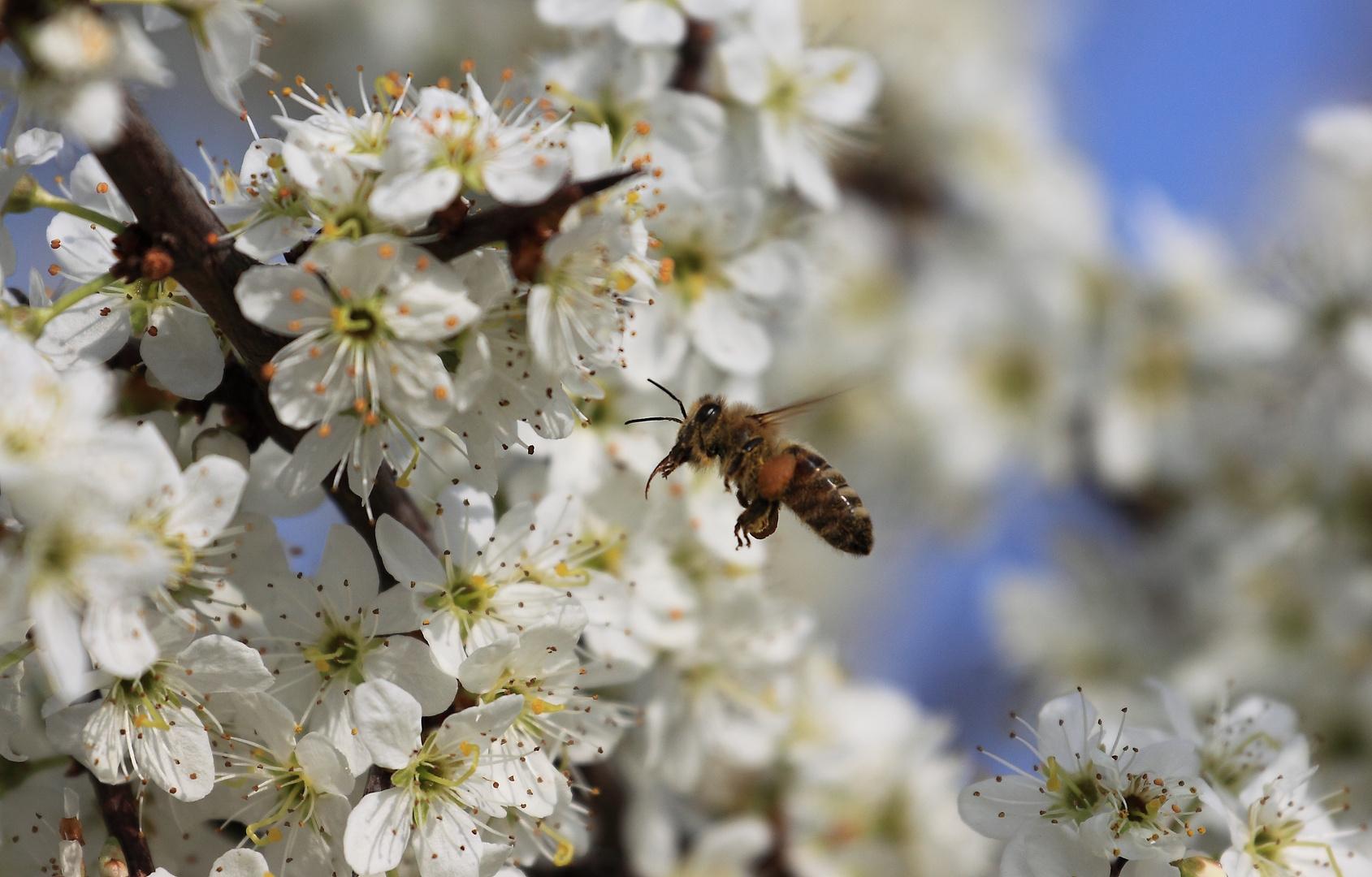 Biene im Schlaraffenland