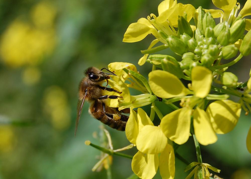 Biene im Senf