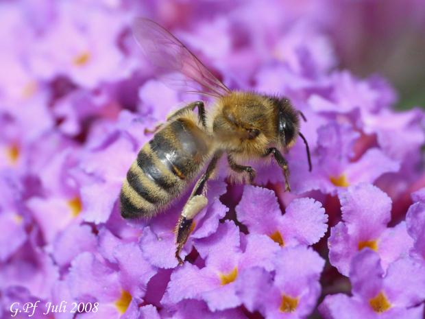 Biene im Sommerflieder