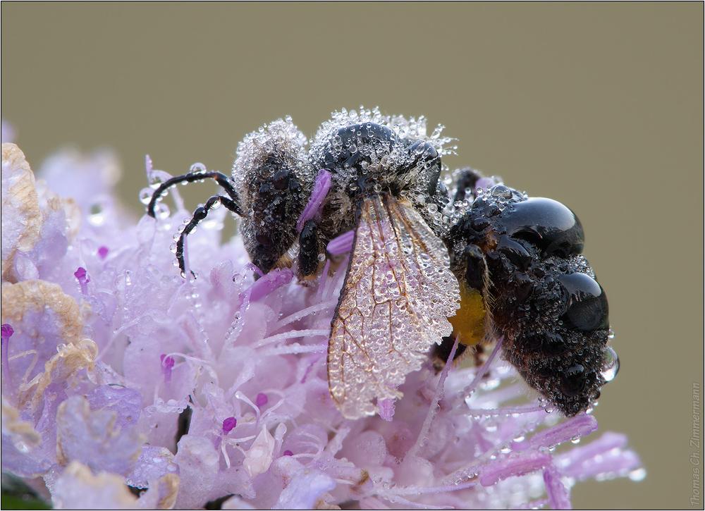 Biene im Tau