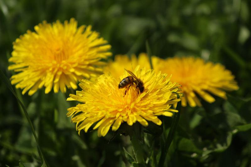 Biene in Blüten