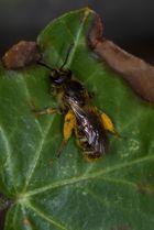 Biene in Blütenstaub