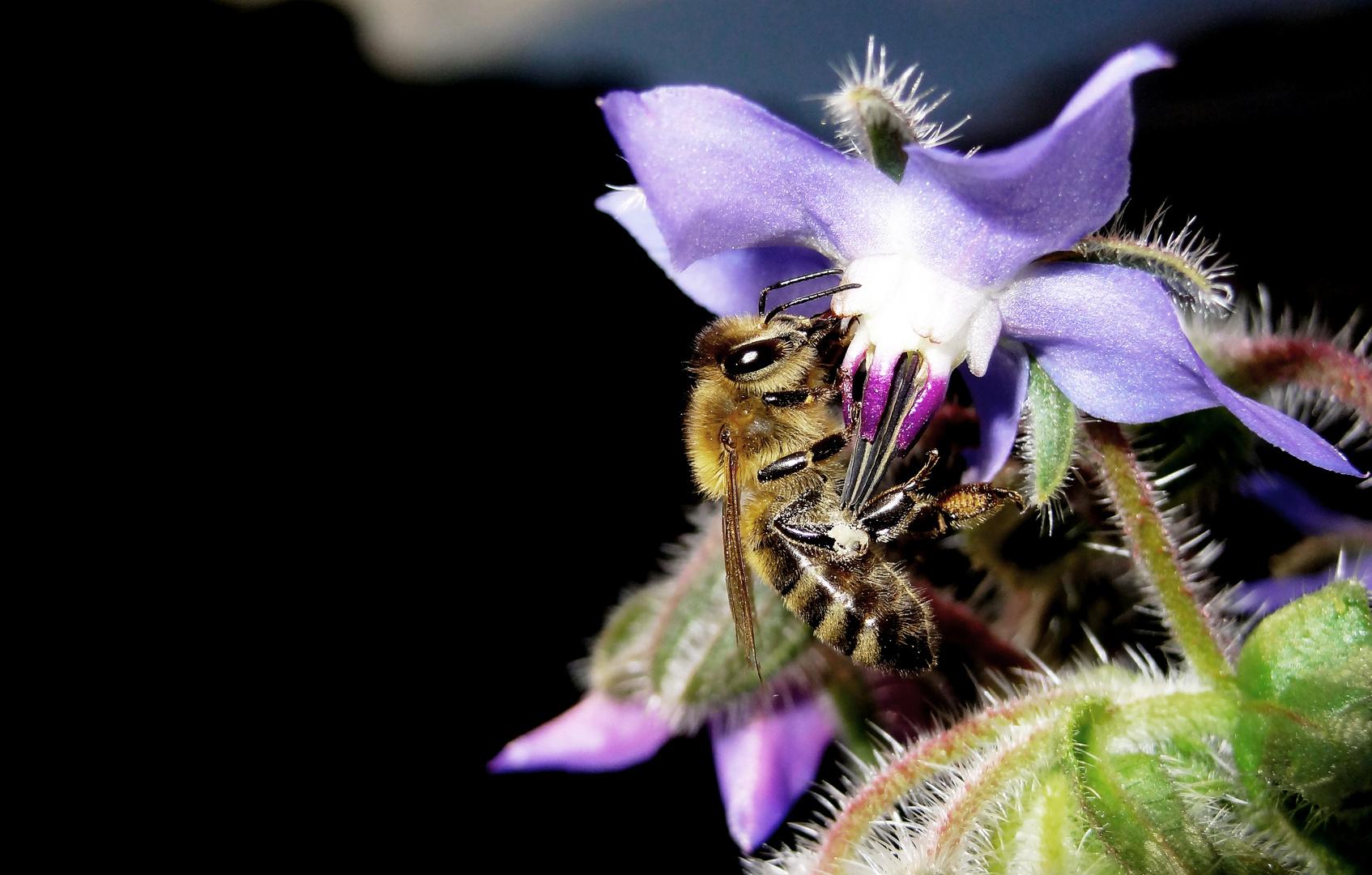 Biene in der Borretschblütte