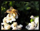 Biene in der Morgensonne