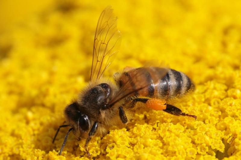 Biene in der Sonnenblume