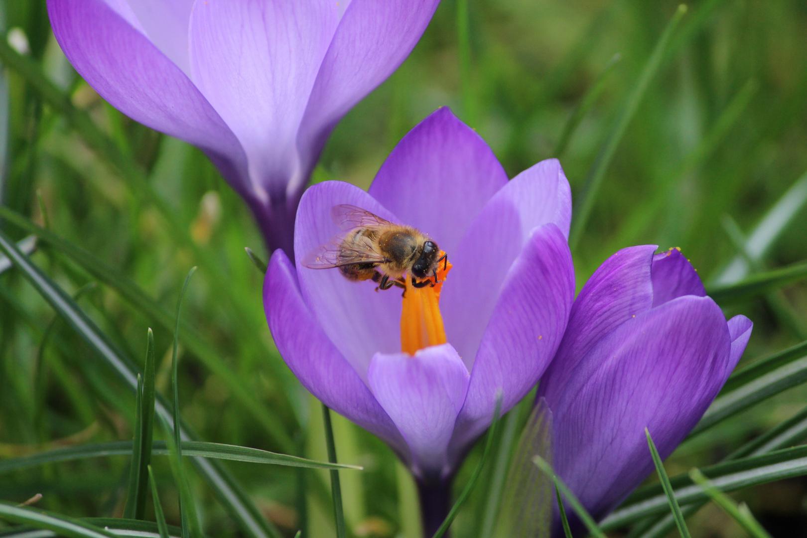 Biene in einer Krokusblüte