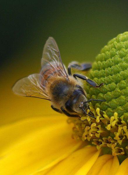 Biene in Gelb