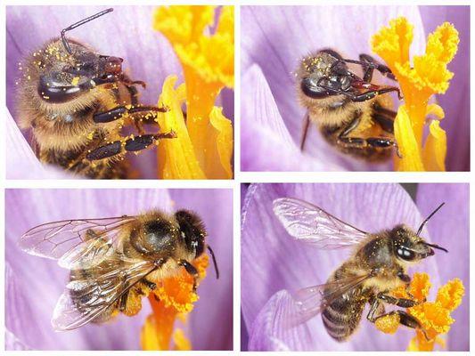 Biene in Krokusblüte