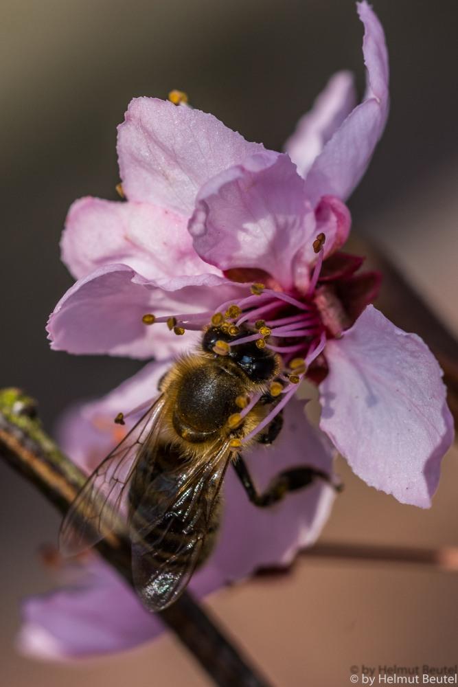 Biene in pink