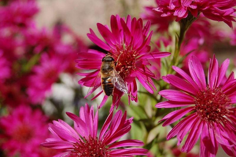 Biene inmitten rosa Blüten