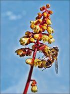 Biene läutet Purpurglöckchen