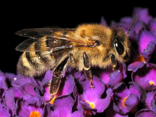 Biene Maja macht Überstunden