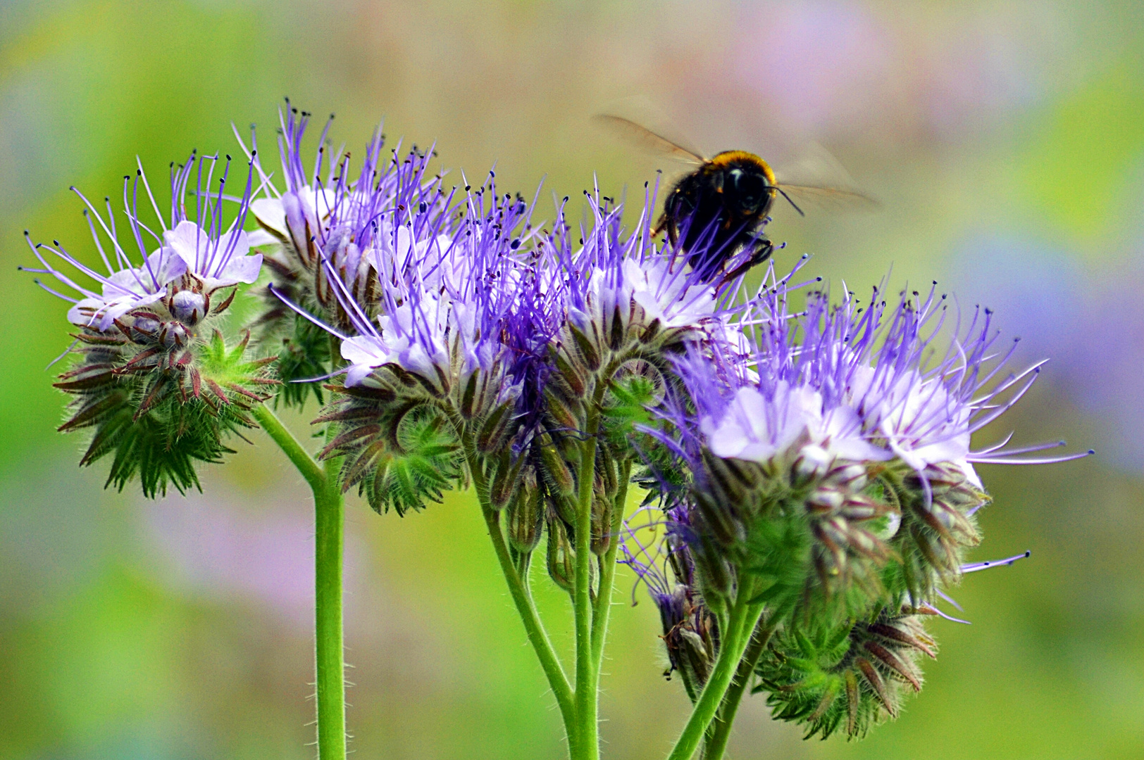 Biene Maja sucht Honig
