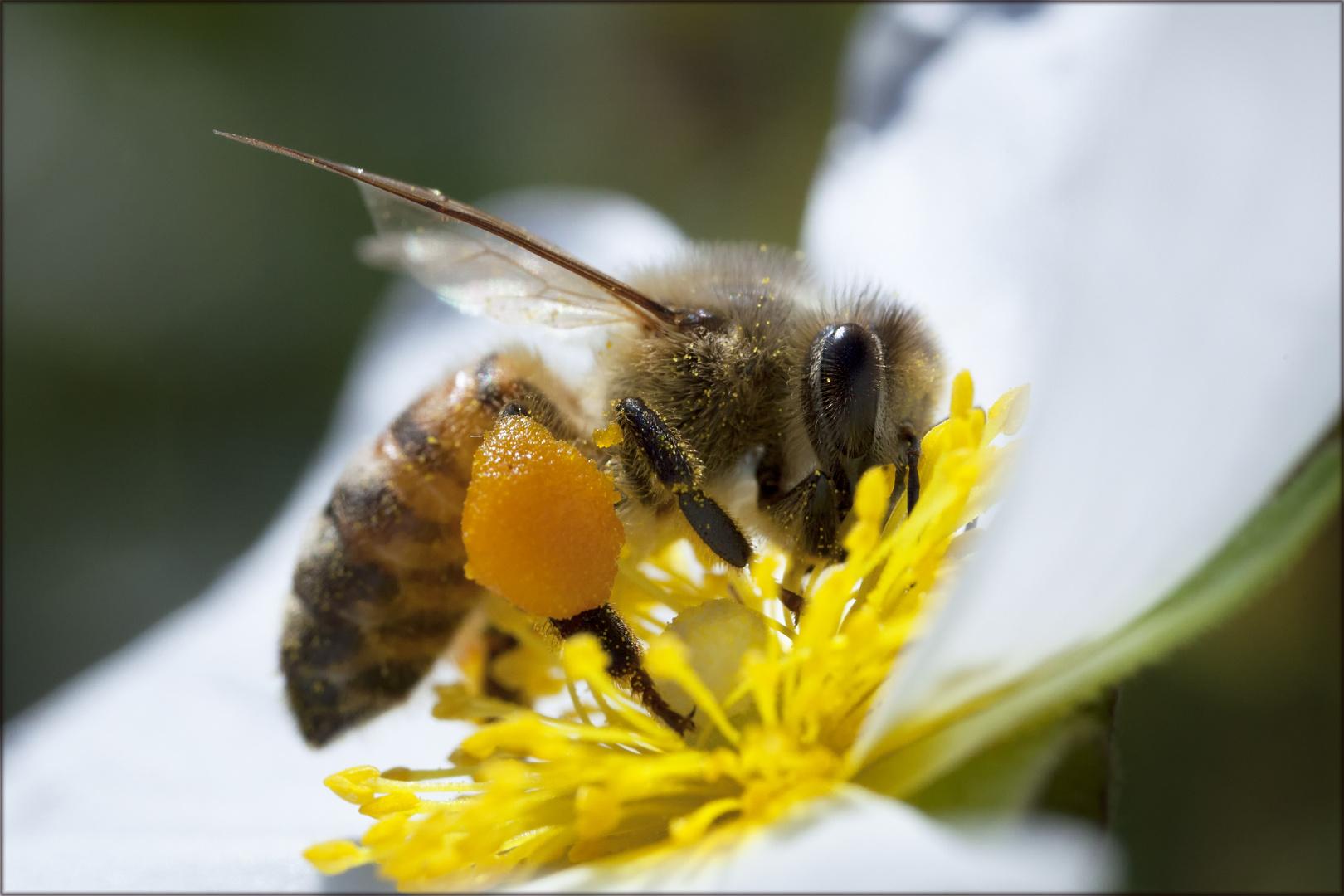 Biene mal ganz groß