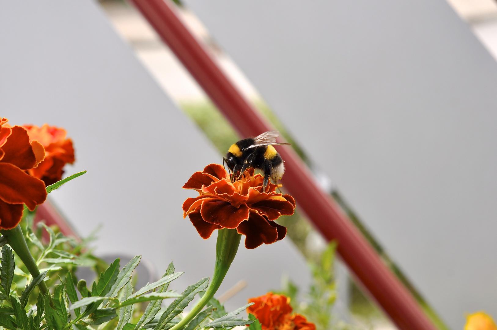 Biene mit der Nikon D 90 auf den Balkon