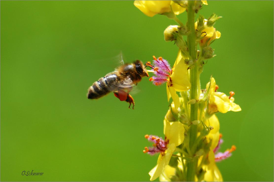 Biene mit Höschen vor Dunkler Königskerze
