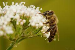 Biene mit Morgentau
