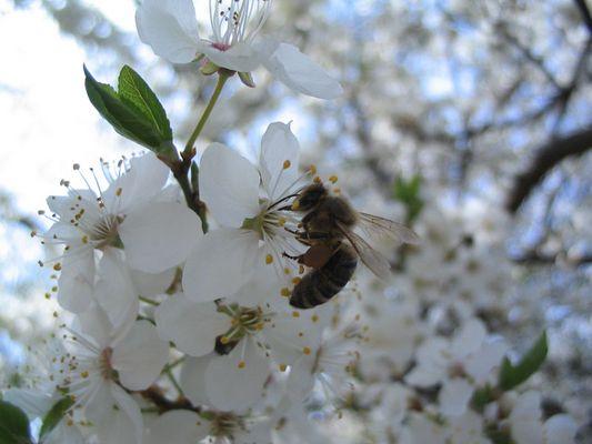 Biene mit Nektarpolster