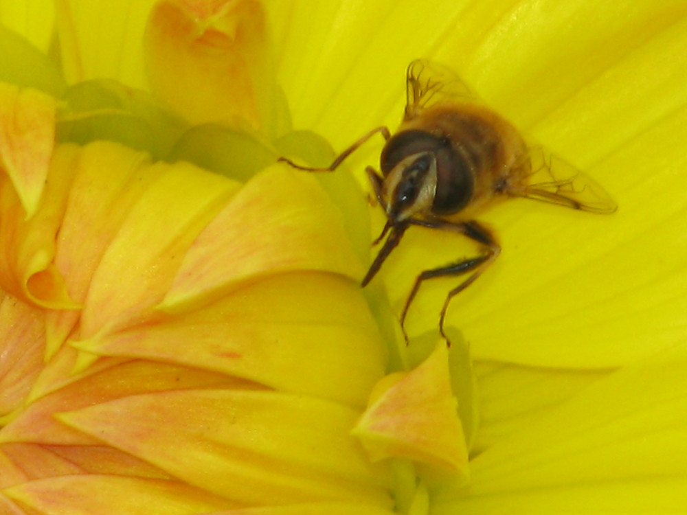 Biene ( Nahaufname ) auf einer Dahlie 002