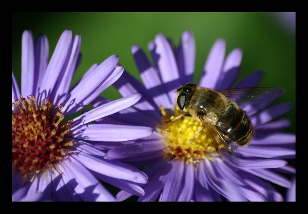 Biene oder Blume