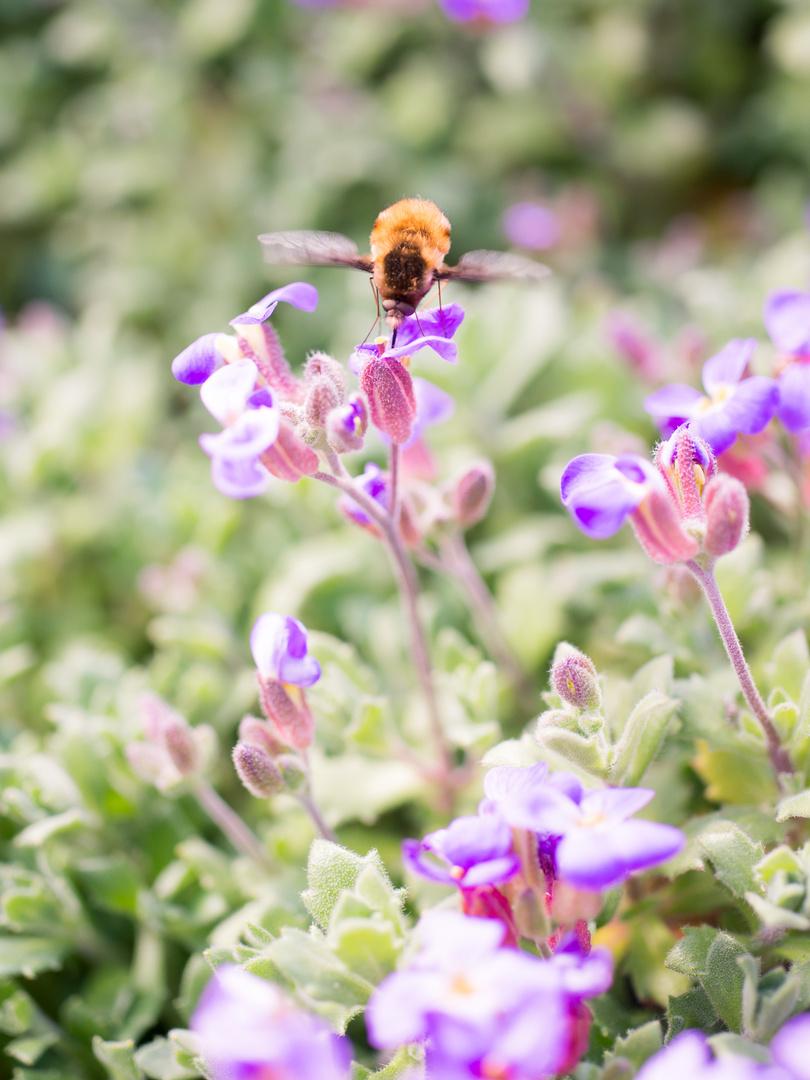 Biene oder Hummel?