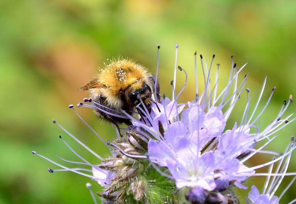 #...Biene oder Hummel......#