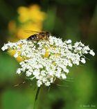 Biene oder Mücke?