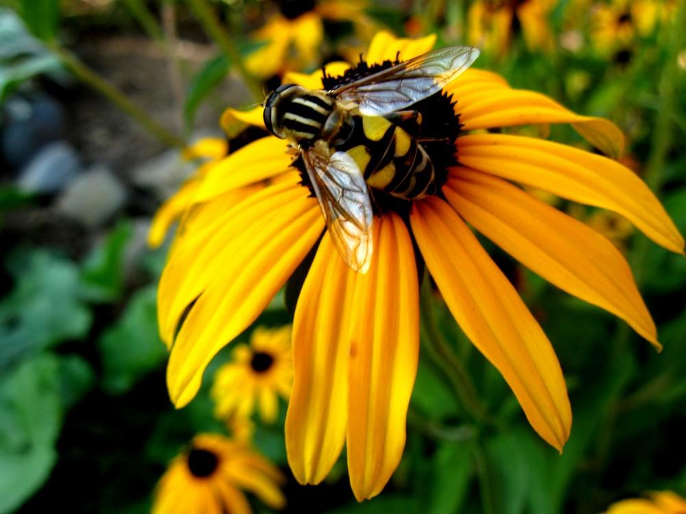 Biene oder Wespe? Oder was ganz anderes?