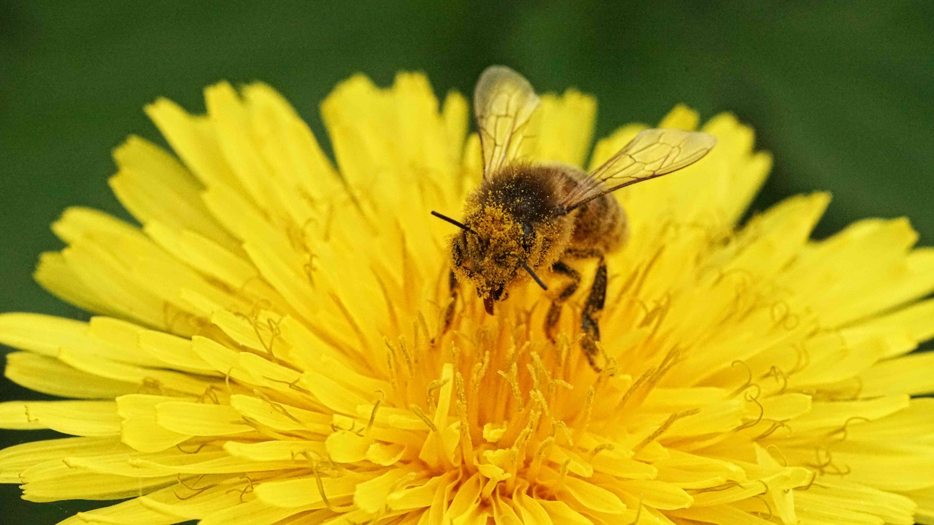 Biene ohne Durchblick