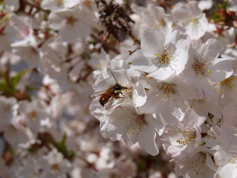 Biene saugt Nektar
