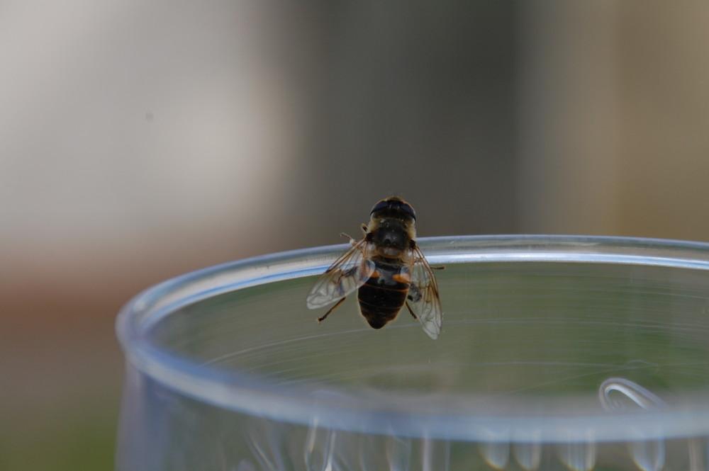 Biene schlürft Cola