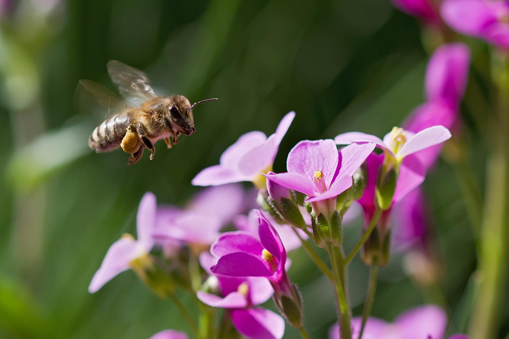 Biene steuert blaues Kissen an.