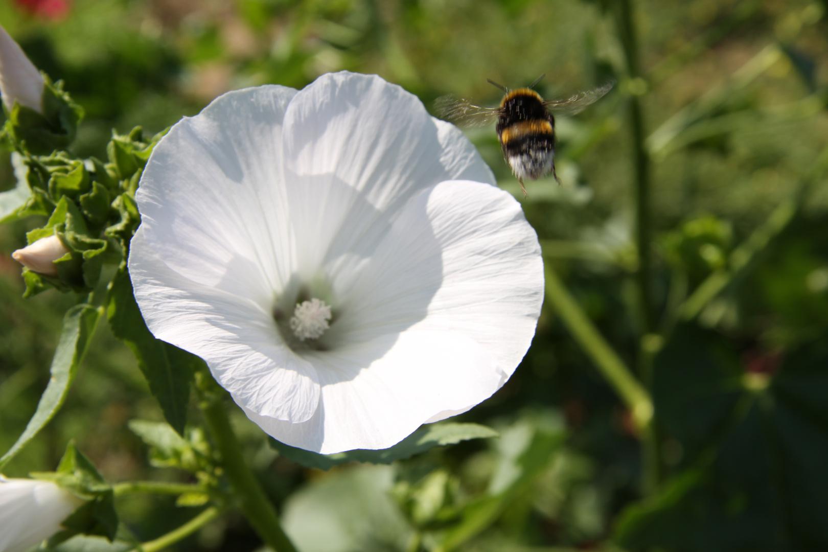 Biene Take-Off Rückwärtsgang