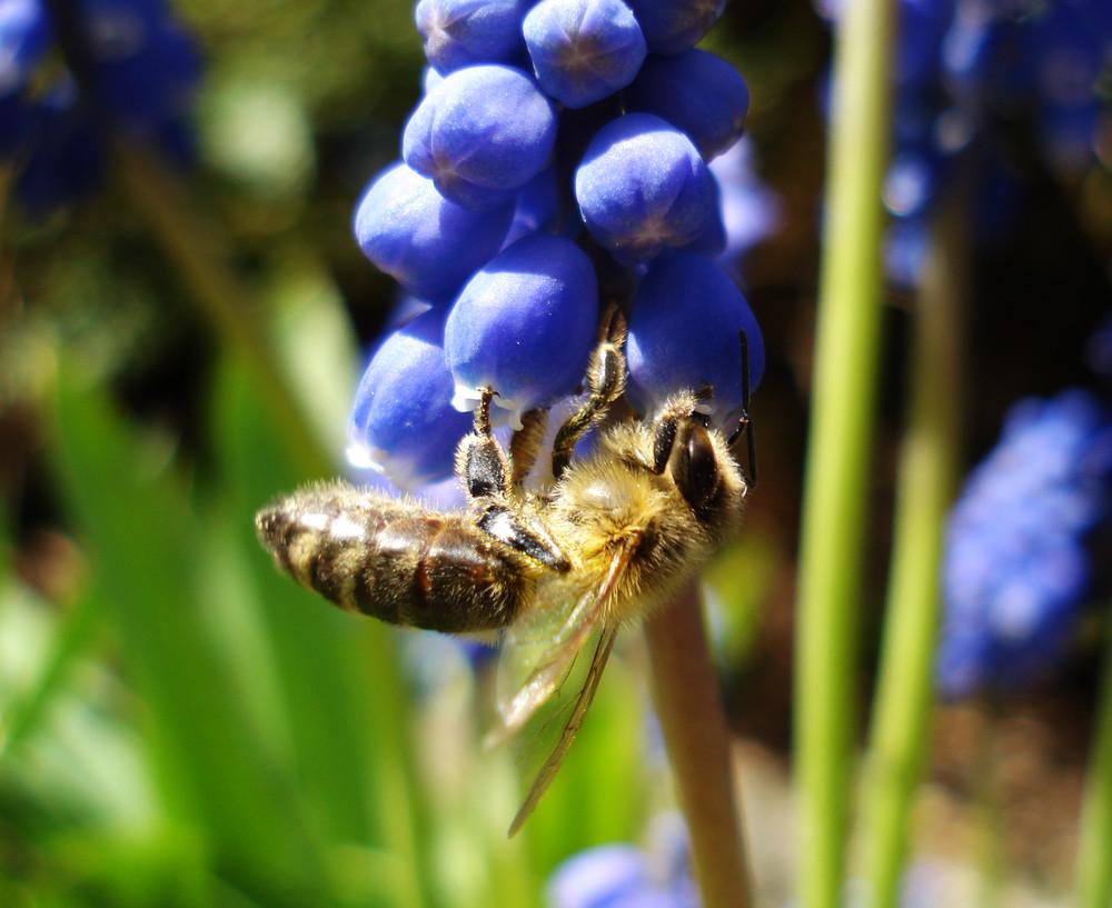 Biene trinkt aus Hyazinthe
