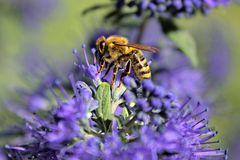 Biene über blauen Blüten