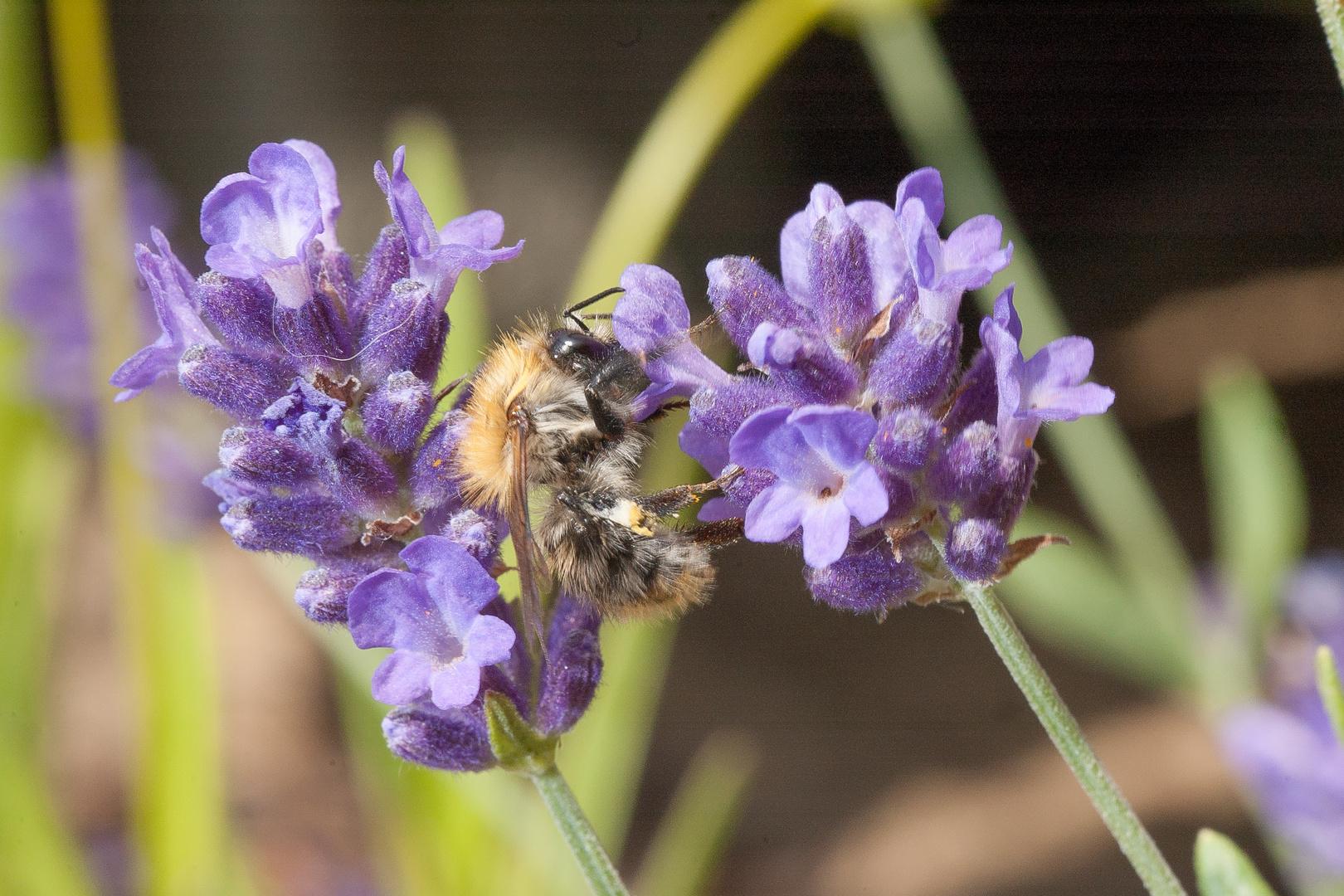 Biene und Lavendel
