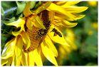 Biene und Sonnenblume