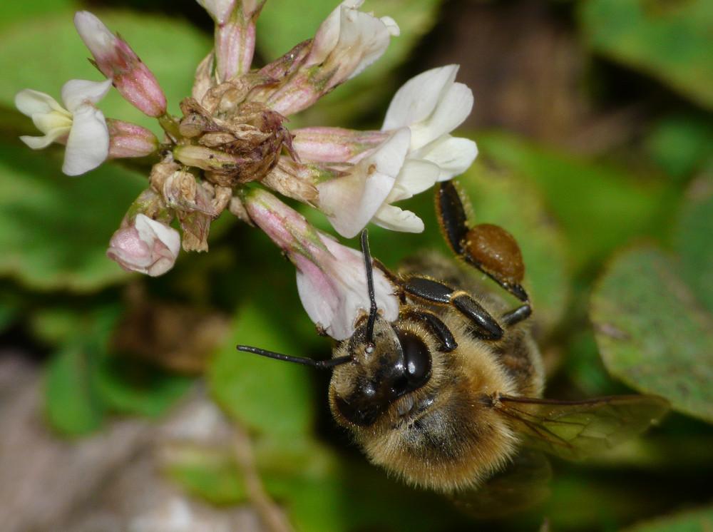 Biene - vielleicht finde ich hier noch was Süßes?