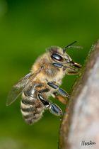 Biene von der Seite