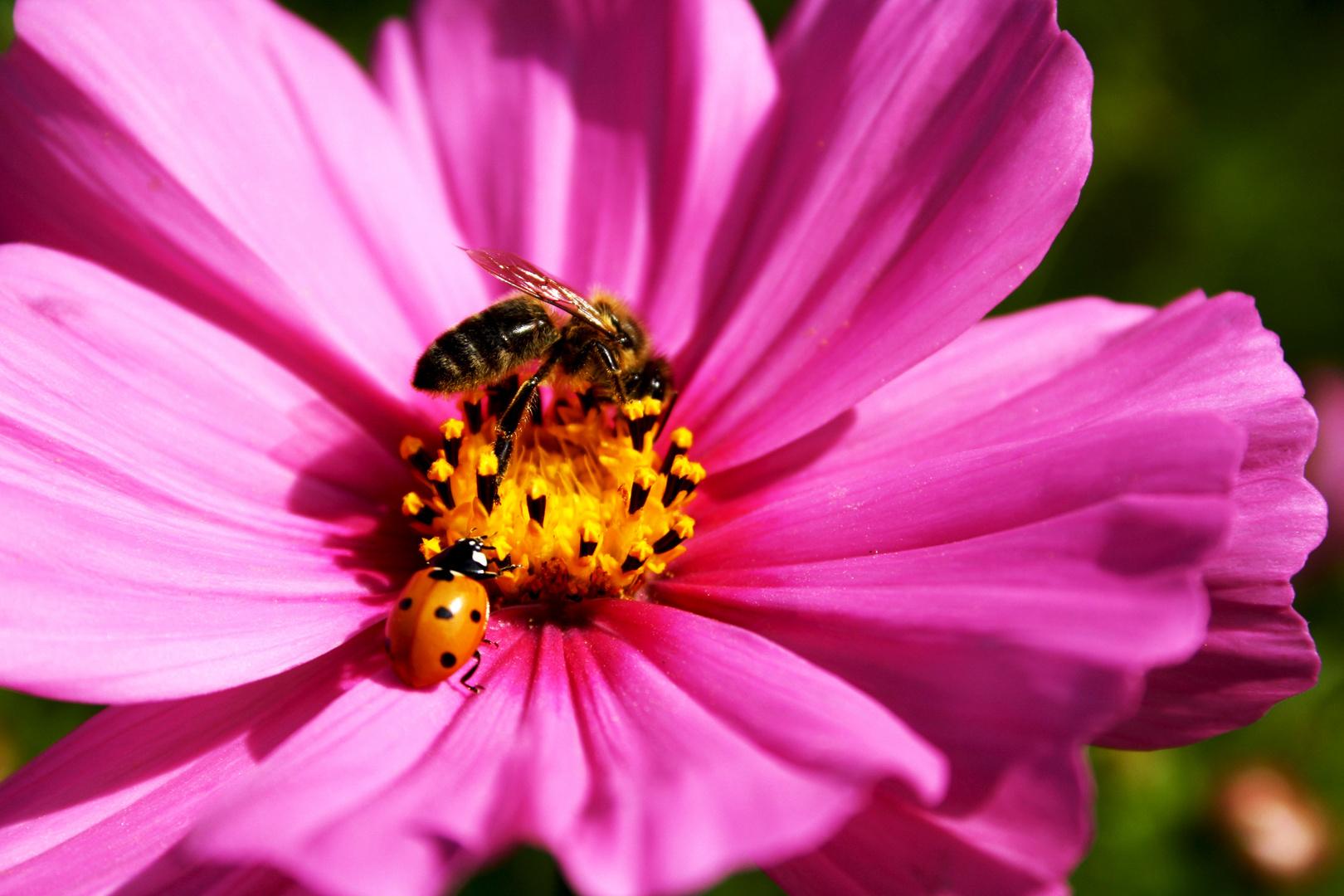 Biene vs. Marienkäfer