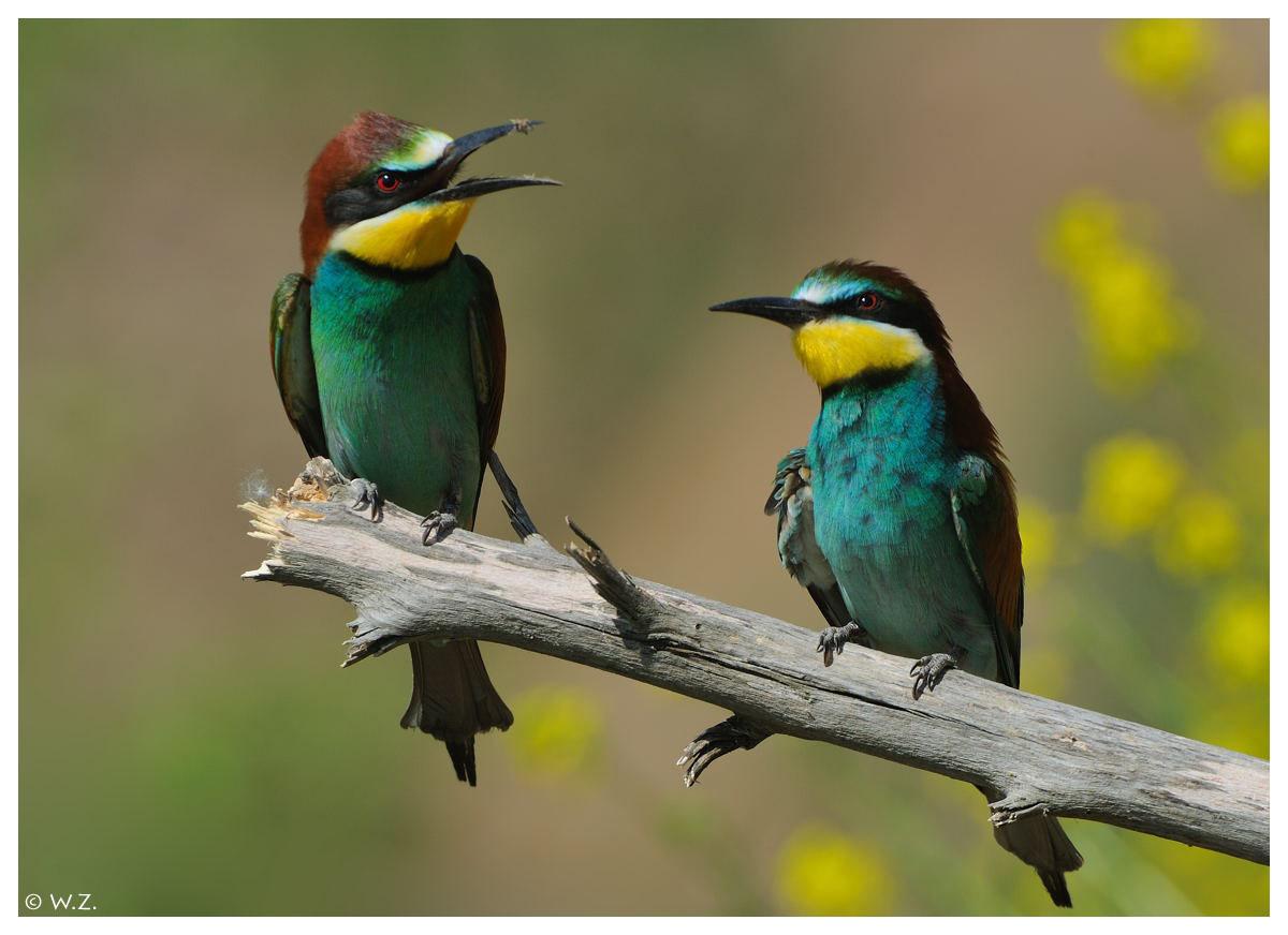 ---- Bienefresser Nr. 6 ---- ( Merops apiaster )