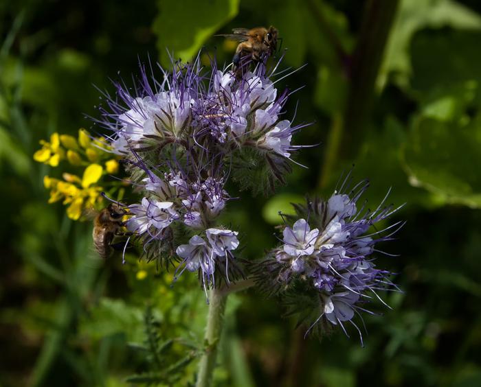 Bienen am Bienenfreund