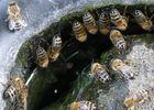 Bienen an der Vogeltränke