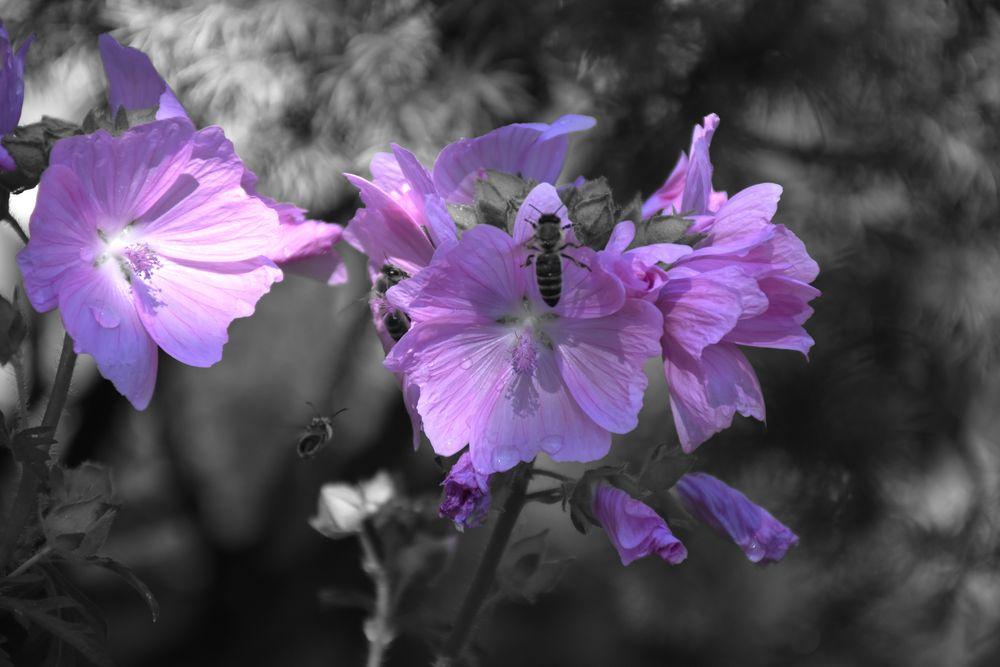 Bienen auf Malvenblüten